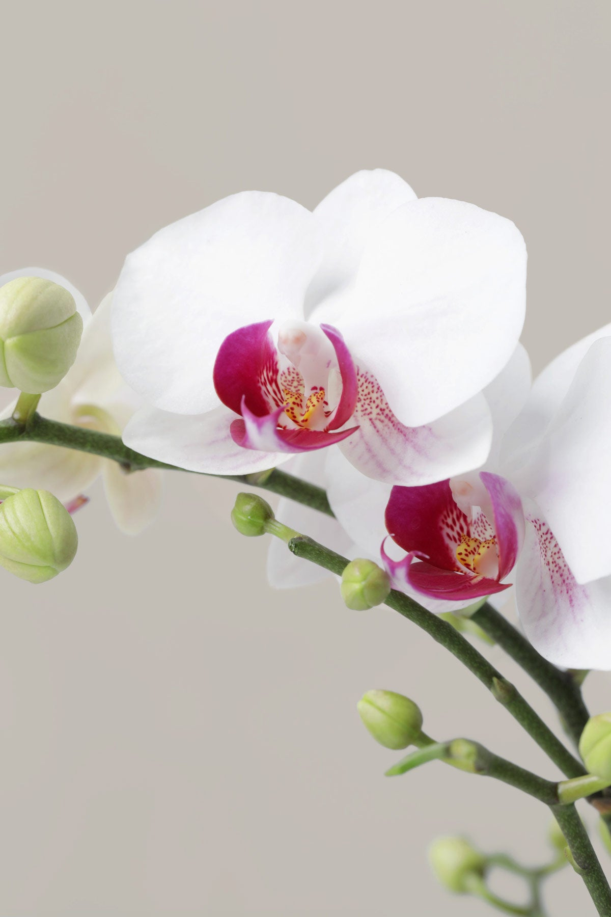 Petite White Orchid