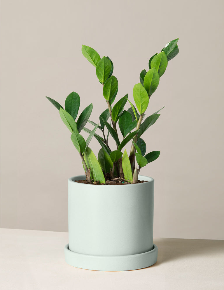 Zz Plant Low Light Plants Amp Houseplants For Delivery