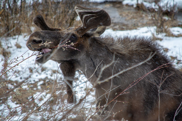 Moose Etiquette in the Wild of Montana