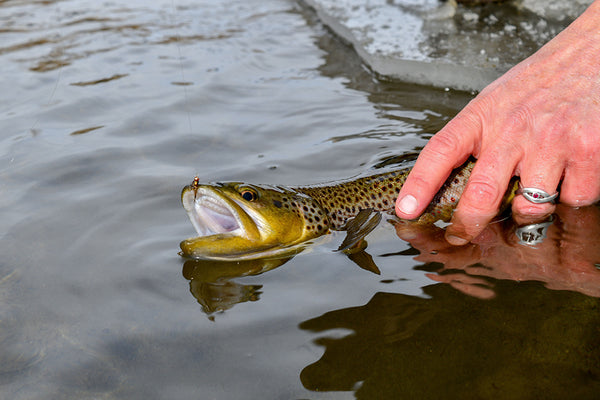 Brown Trout Release - Fly Fishing Montana