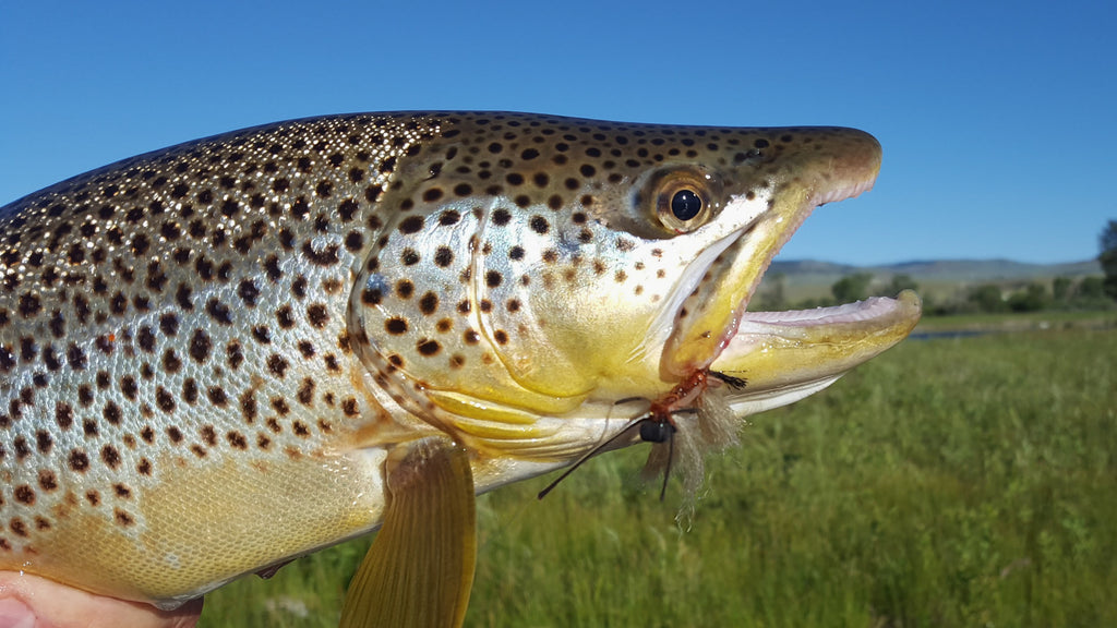 Big Brown on Salmonfly