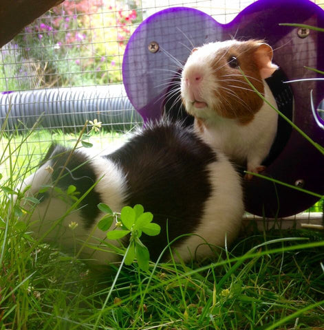 Guinea Pigs Runs and Housing