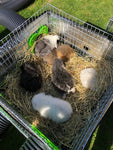 TOP BOX with view for Guinea Pigs