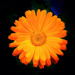 Calendula officinalis. Photo by Oberon Carter