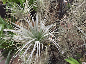 Tillandsia 'Air Plants'