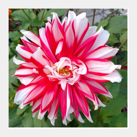 Single Large Pink White Dahlia Flower Nature Photography Floral  Square Art Prints PosterGully Specials