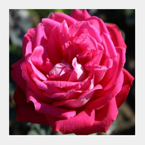 Square Art Prints, Blooming Beauty Rose Flower Floral Photography Square Art Prints | Artist : Seema Hooda, - PosterGully