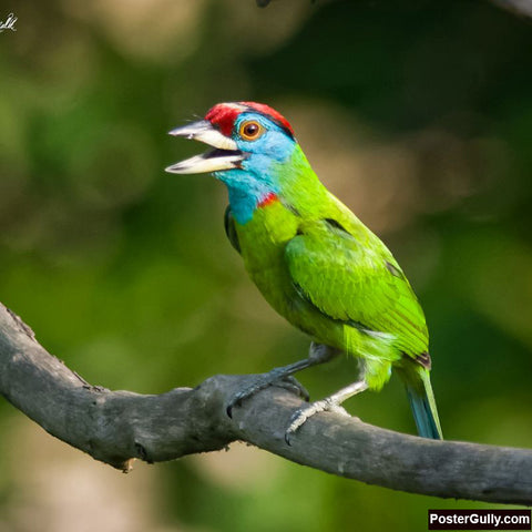 Square Art Prints, Blue Throated Barbet Artwork | Artist: Avadhesh Malik, - PosterGully