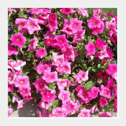 Beautiful Pink Petunia Flowers Spring Floral Background Square Art Prints PosterGully Specials