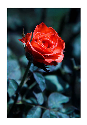 Single Red Rose Photography Art PosterGully Specials