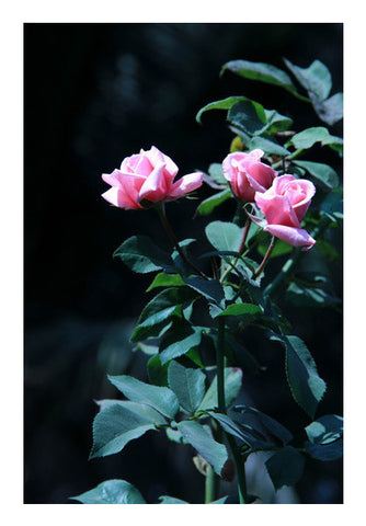Three Pink Rose Photography Art PosterGully Specials