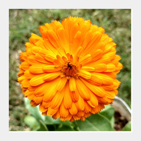 Single Orange Calendula Flower Macro Photography Nature Poster Square Art Prints PosterGully Specials