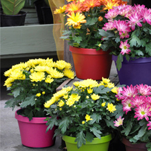 "8"" Vaso Pot in Special Edition Colors (Case of 52)"