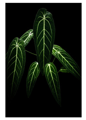 Anthurium warocqueanum Print by Plants on Black