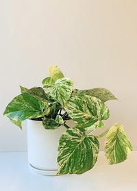 Epipremnum aureum Marble Queen Indoor Pot Plant New Zealand