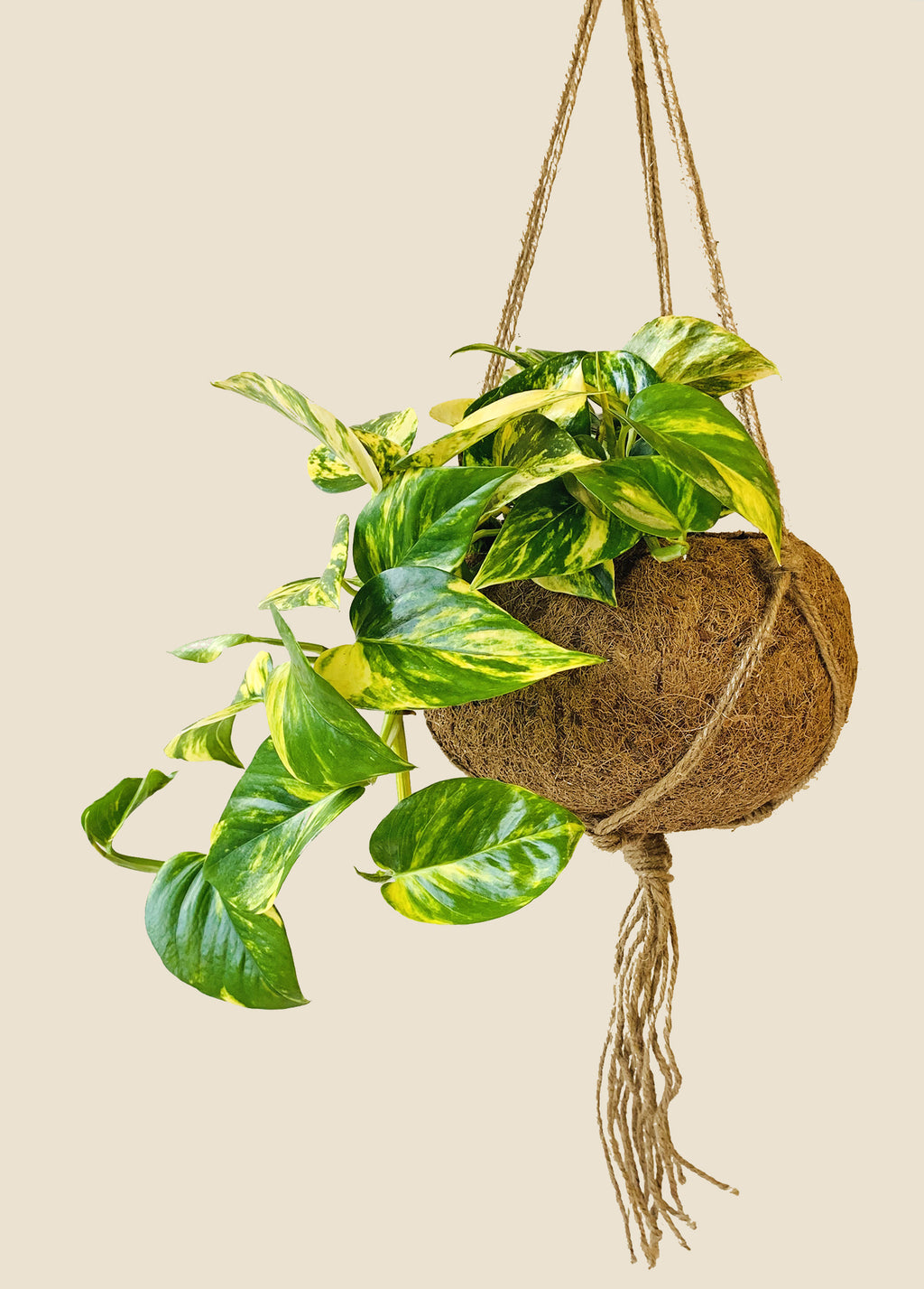 Large Kokodama - Golden Pothos