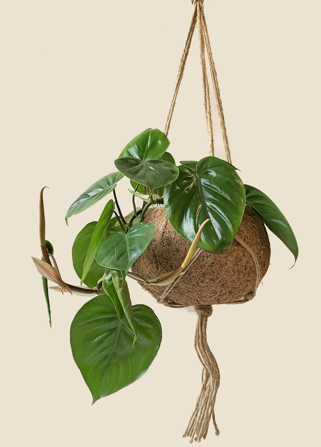 Large Kokodama - Philodendron Heartleaf