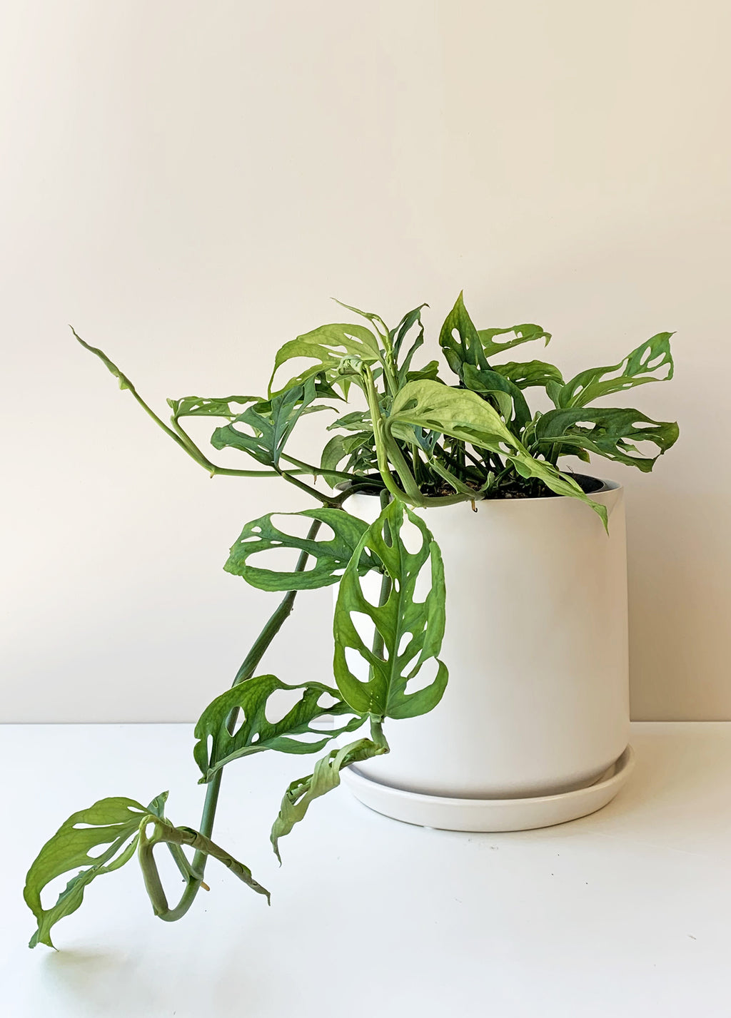 Monstera - Swiss Cheese Vine