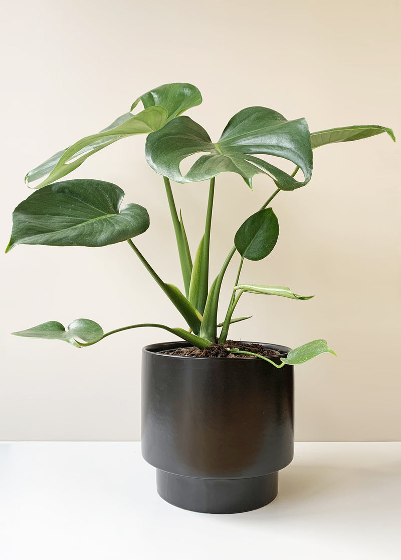 Monstera deliciosa - Swiss Cheese Plant