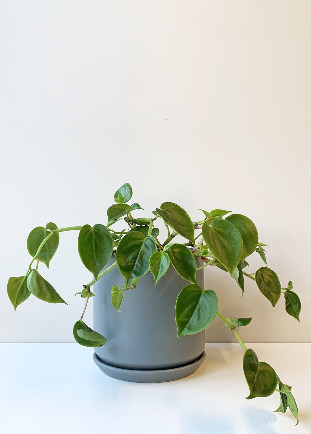 Peperomia scandens - Green