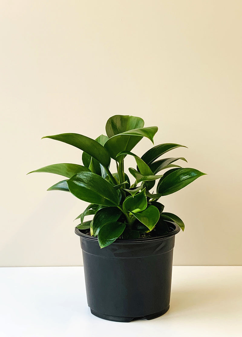 Philodendron selloum - Green Princess
