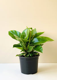 Philodendron selloum -  Imperial Green