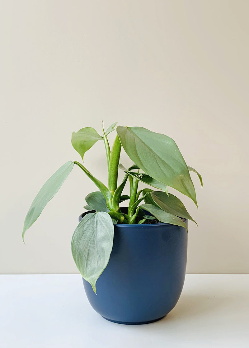 Philodendron hastatum - 'Silver Arrow'