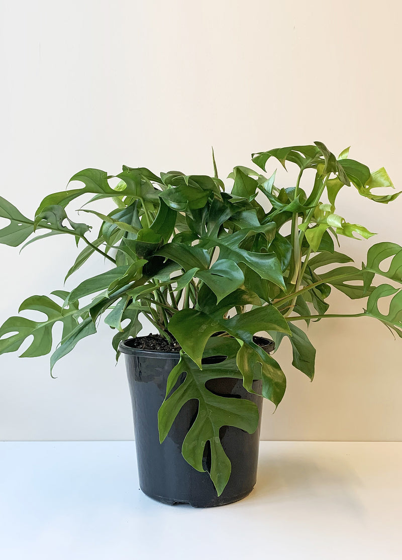 Large Philodendron - Minima