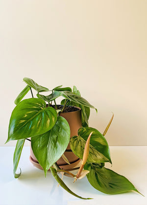 Philodendron scandens - Heartleaf