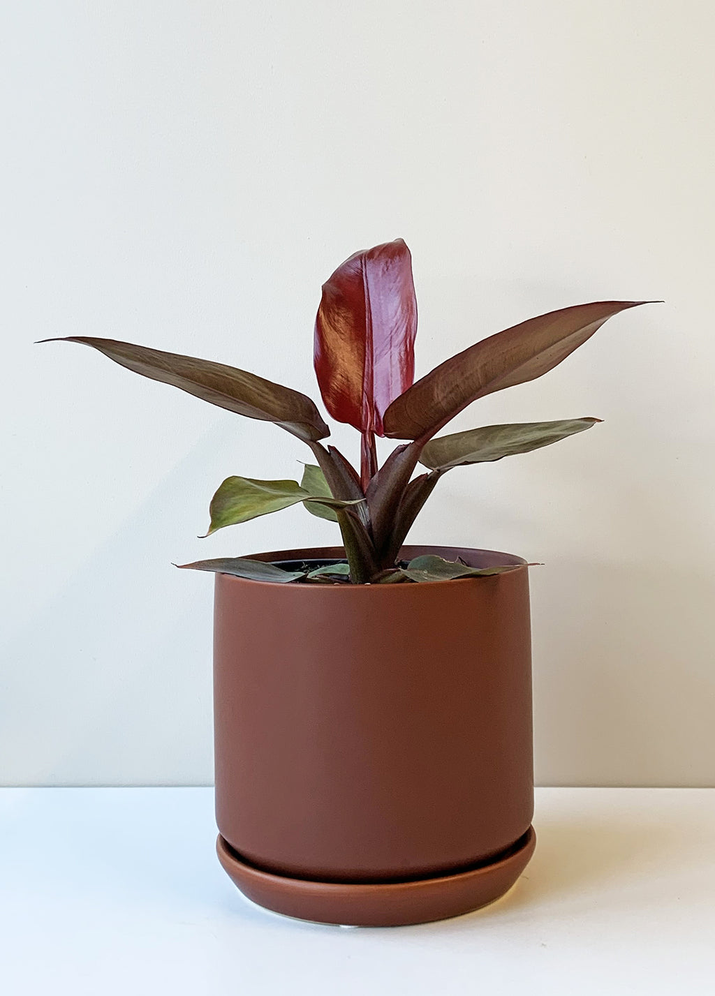 Philodendron selloum -  Sun Red