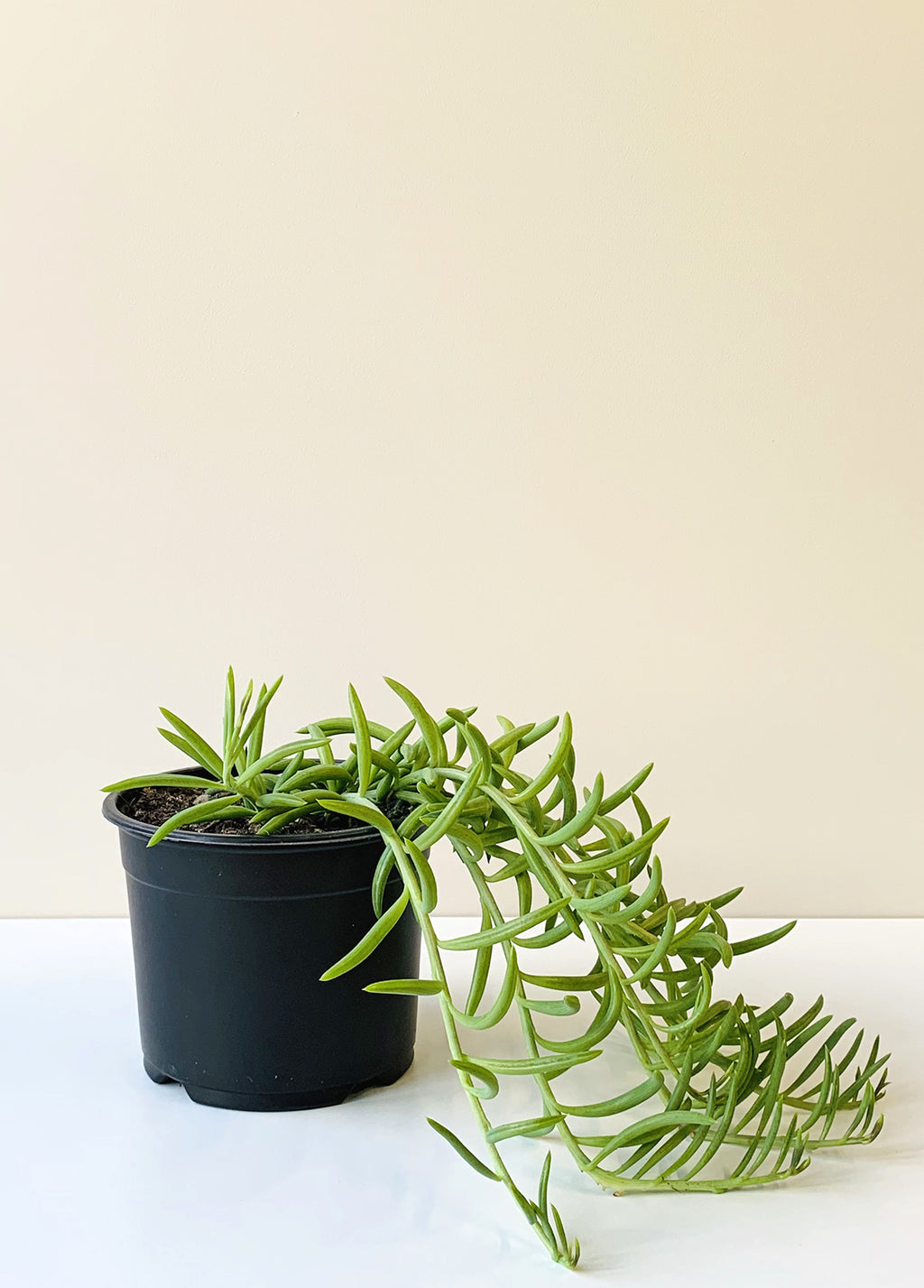 Senecio radicans - String of Fish Hooks