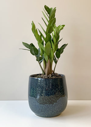 Zamioculcas zamiifolia - Zanzibar Gem, Indoor Pot Plant New Zealand