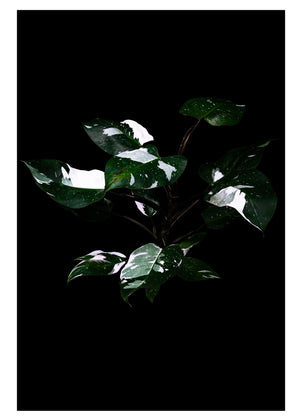 Philodendron White Princess Print by Plants on Black