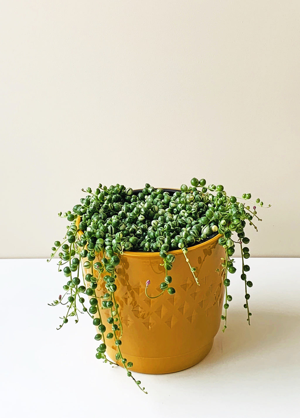 Variegated Senecio rowleyanus - Variegated String of Pearls