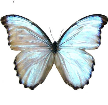 Unmounted Morpho Godarti (Opal Morpho) London Taxidermy Academy Preservation