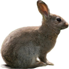 Wild Rabbit (adult)