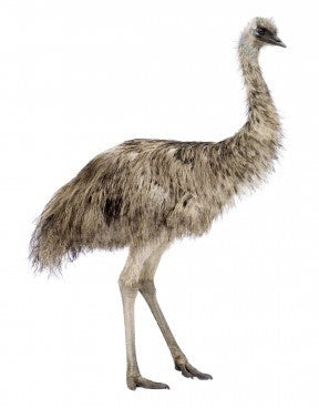 Emu (limited stock)