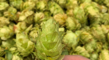 When Hops Prevail – Brewing with Fresh Hops