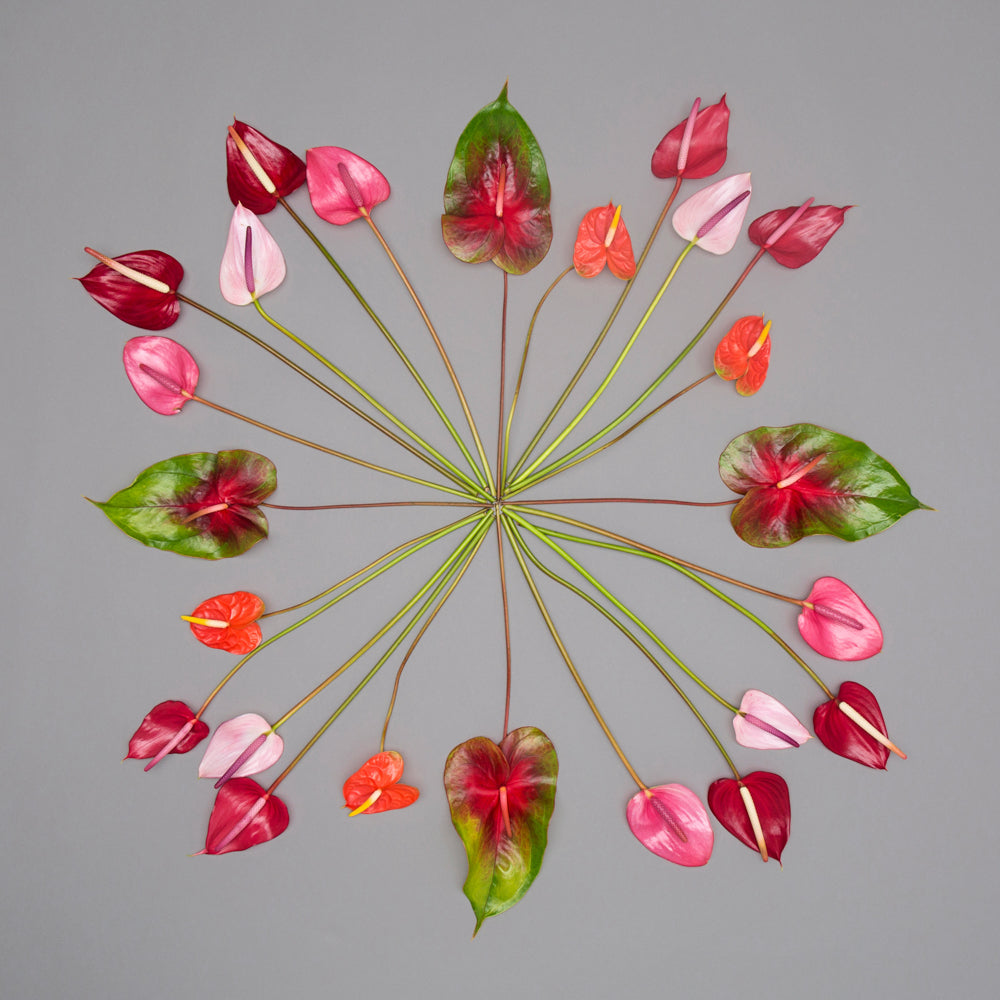 flamingo anthuriums in a circle design creating a symmetrical photograph