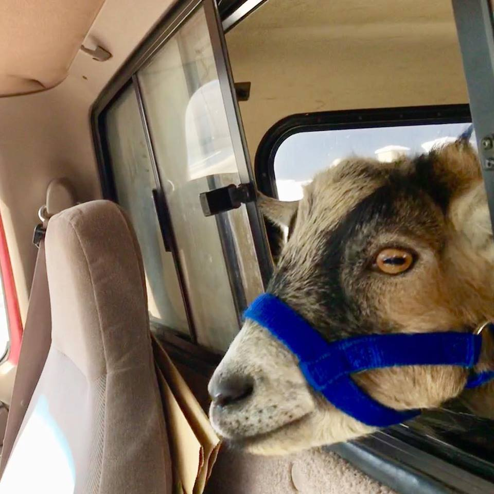 jacob the Ojai goat being evacuated during Thomas Fire