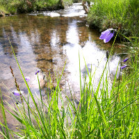 bellflower on clear nordic river, unpolluted northern nature in  Finland Scandinavia.