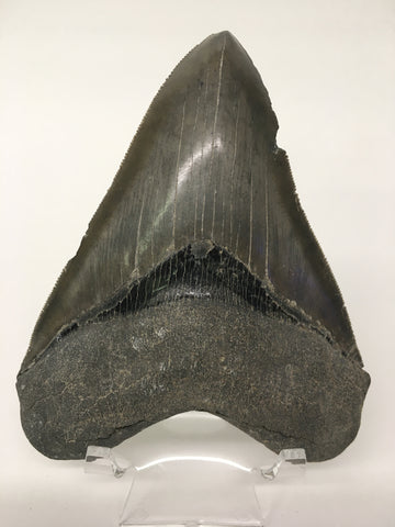 "Megatooth Shark tooth 4&9/16"" - Carcharocles megalodon (gigantic shark) #4"