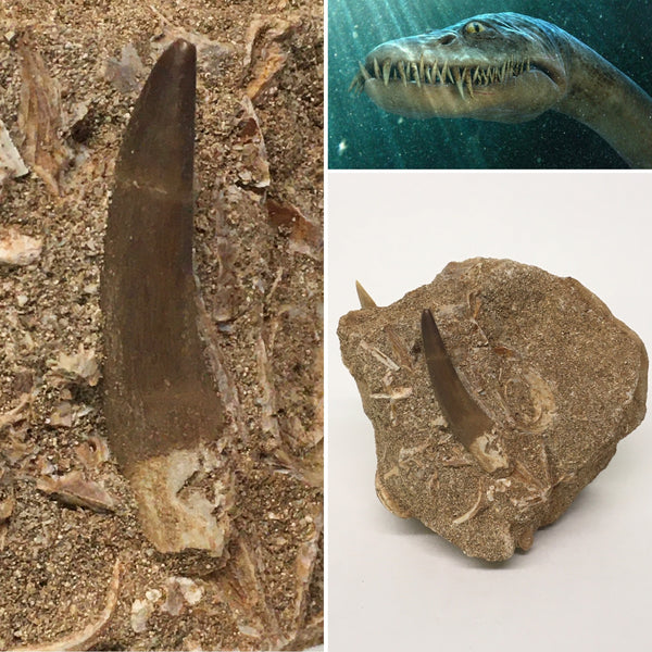 "Zarafasaura Tooth w/ Shark Teeth 1&1/2"" (large elasmosaurid plesiosaur)"