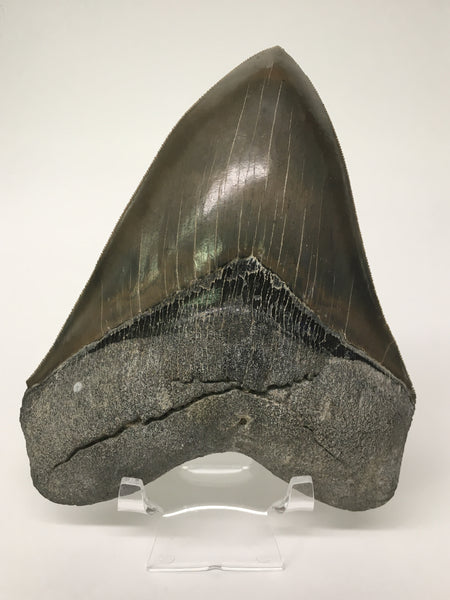 "Megatooth Shark tooth 5&3/4"" - Carcharocles megalodon (gigantic shark) #1"
