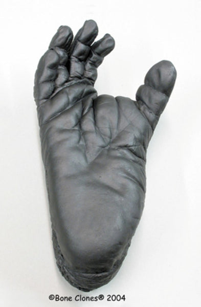 Chimpanzee Foot Life Cast Replica - Pan troglodytes #LC-24