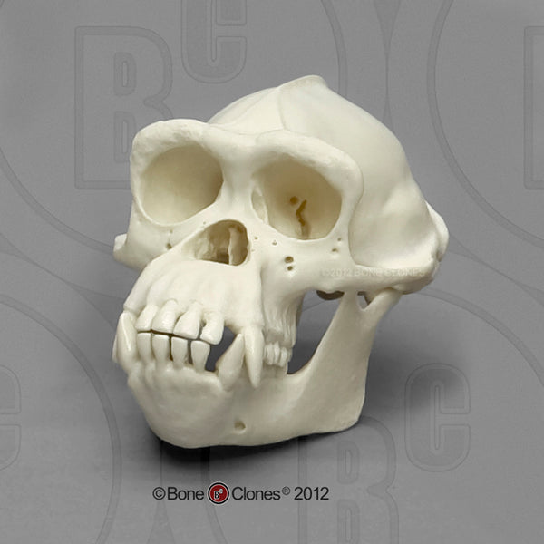1/2 scale Chimpanzee (male) Model Skull - Pan troglodytes #KAM-03