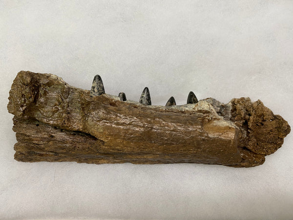 "American Alligator Jaw Fossil 8&1/4"" - Alligator mississippiensis"