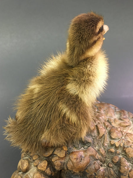 Domestic Duckling Taxidermy -  Anas domesticus