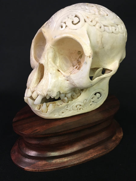 Hand-Carved Monkey Skull - Macaca fascicularis