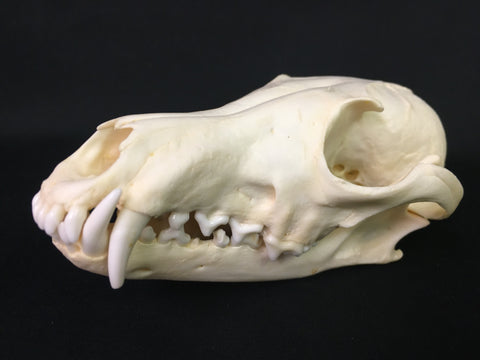 Red Fox Skull - Vulpes vulpes